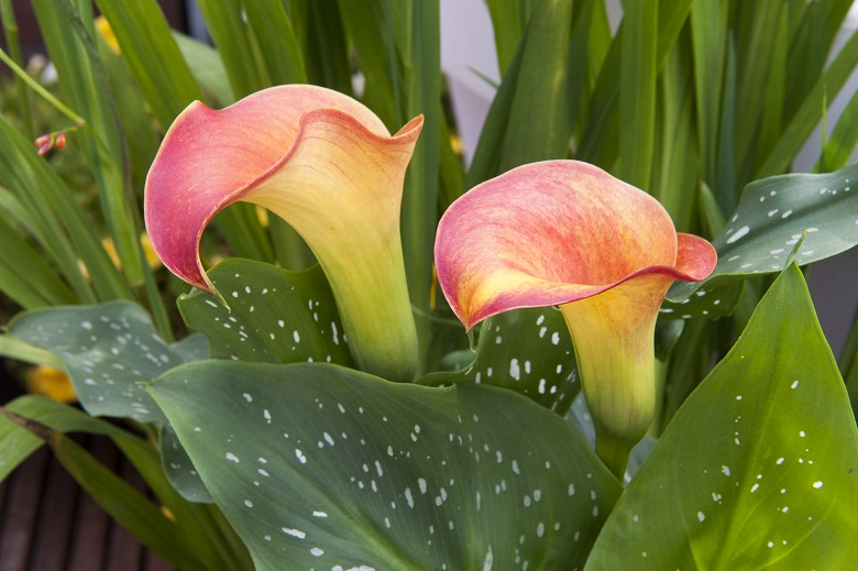 Calla lilies for amazing summers